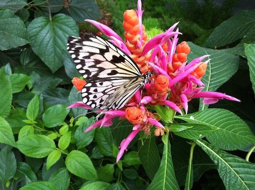 09_papillons_en_liberté_insectarium_montreal