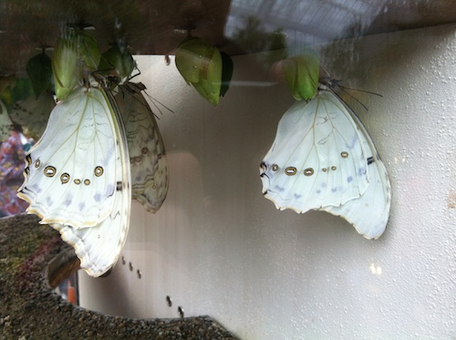 10_papillons_en_liberté_insectarium_montreal