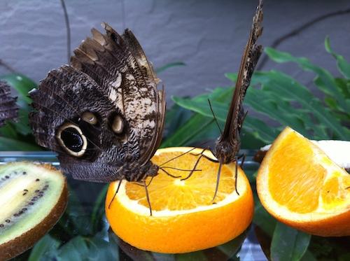 13_papillons_en_liberté_insectarium_montreal