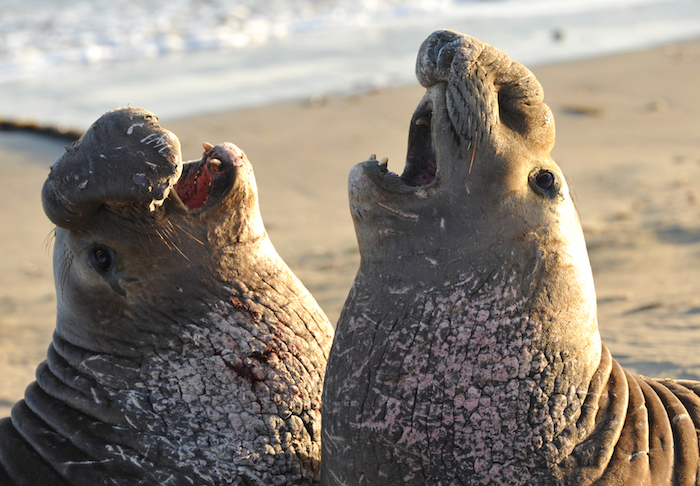 elephant-seal-california